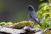 Black Redstart (Phoenicurus ochruros gibraltariensis), side view of an adult male in winter plumage, Campania, Italy