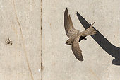 Pallid Swift (Apus pallidus), adult in flight seen from the above, Campania, Italy