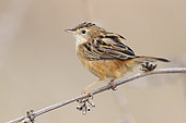 Zitting cisticola (Cisticola juncidis), side view of an adult perched on a stem, Campania, Italy