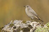 Black Redstart (Phoenicurus ochruros gibraltariensis), side view of an individual standing on a rock, Campania, Italy