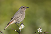 Black Redstart (Phoenicurus ochruros gibraltariensis), side view of an individual perched on a Blackthorn branch with flowers, Campania, Italy