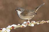 Sardinian Warbler (Sylvia melanocephala), side view of an adult female perched on a branch, Campania, Italy