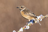 European Stonechat (Saxicola rubicola), side view of an adult female perched on a branch, Campania, Italy