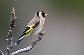 European Goldfinch (Carduelis carduelis), side view of an adult perched on a branch, Campania, Italy
