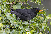 Common Blackbird (Turdus merula), side view of an adult male eating a berry, Campania, Italy
