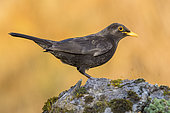 Common Blackbird (Turdus merula), side view of an adult male standing on a rock, Campania, Italy