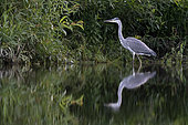 Grey heron (Ardea cinerea) in search of food, Alsace, France