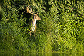 Fallow Deer (Dama dama) at the edge of a river, Alsace, France