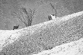 Alpine chamois (Rupicapra rupicapra) alone in the snow, Vosges, France