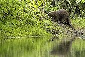 European beaver (Castor fiber) looking for food, Alsace, France