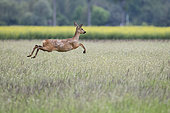 Roedeer (Capreolus capreolus) jumping, Alsace , France