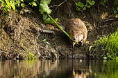 European Beaver (Castor fiber) bringing a branch of Knotweed to the hut to feed its young, Alsace, France
