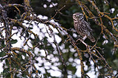 Little Owl (Athene noctua) observing its territory, Alsace, France