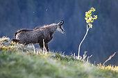 Chamois des Alpes (Rupicapra rupicapra) s'étirant après la sieste, Vosges, France