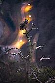 Grand duc d'Europe (Bubo bubo) mâle en place sur son arbre préféré pour appeler sa femelle fin janvier, période de parade nuptiale, Alsace, France