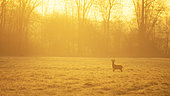 Roedeer (Capreolus capreolus) in the morning light, Alsace, France