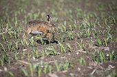 European hare (Lepus europaeus) jumping between corn plants, Alsace, France