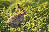 European hare (Lepus europaeus) sunset break, Alsace, France