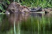 European beaver (Castor fiber) in full meal, Alsace, France