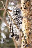 Great Grey Owl (Strix nebulosa) in search of prey, Finland
