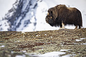 Musk ox (Ovibos moschatus) quietly ruminating, Norway