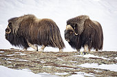 Musk ox (Ovibos moschatus) two males measuring each other, Norway