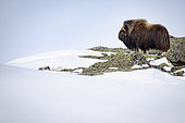 Male musk ox (Ovibos moschatus) scanning its territory, Norway