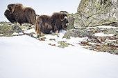Musk ox (Ovibos moschatus) couple, Norway