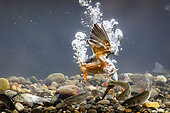 European Kingfisher (Alcedo atthis) diving for fish, Alsace, France