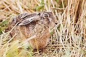 European Hare (Lepus europaeus) at rest, Alsace, France