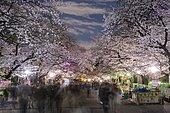 Flowering cherry trees at dusk in springtime, Hanami Fest, Ueno Park, Taito City, Tokyo, Japan, Asia