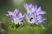 Woodland crocuses (Crocus tommasinianus) with honey bee (Apis mellifera), collects pollen, Emsland, Lower Saxony, Germany, Europe