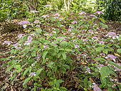 Hydrangea serrata 'Oamacha'