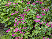 Hydrangea macrophylla 'Twilight'