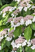 Hydrangea macrophylla 'White Wave'