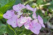 Hydrangea macrophylla 'Teller Messalina'
