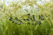 Tench (Tinca tinca) at spawning period amongst European Watermilfoil (Myriophyllum spicatum), Sion, Valais canton, southwestern Switzerland