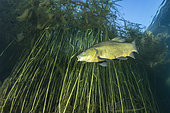 Tench (Tinca tinca) amongst reeds, Sion, Valais canton, southwestern Switzerland