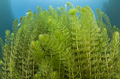 European Watermilfoil (Myriophyllum spicatum), Sion, Valais canton, southwestern Switzerland