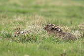 Brown hare (Lepus europaeus) lying in the grass, England