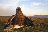 Golden eagle (Aquila Chrysaetos) mantling a brown hare, Scotland