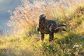 Golden Eagle (Aquila chrysaetos) standing amongst grasses and flowers, Scotland