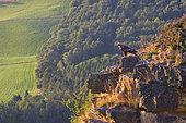 Golden Eagle (Aquila chrysaetos) standing on a cliff, Scotland