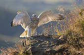 Gyrfalcon (Falco rusticolus) Perched on a cliff face amongst grasses, Norway