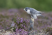 Peregrine falcon (Falco perigrinus) perched on a rock amongst heather, England