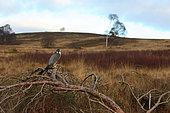 Peregrine falcon (Falco perigrinus) perched on a branch, England