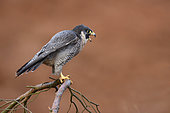 Peregrine falcon (Falco perigrinus) perched on a branch and calling