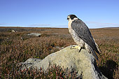 Peregrine falcon (Falco perigrinus) perched on a rock amongst heather