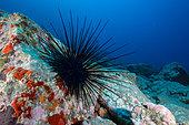 Long-spined sea urchin (Diadema africanum, antillarum) Marine invertebrates of the Canary Islands, Tenerife.