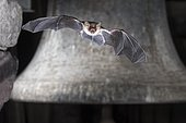 Greater mouse-eared bat (Myotis myotis), flying in front of church bell, Thuringia, Germany, Europe